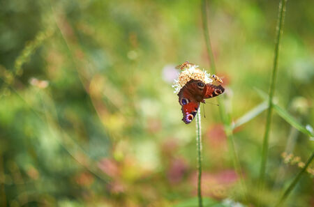 invertabrate: European Peacock Butterfly and Hoverflies on a wild flower. Shallow depth of field used.