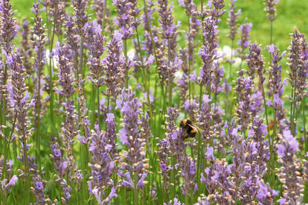 bombus: A bumblebee collecting nectar from lavender plants in the English Countryside.