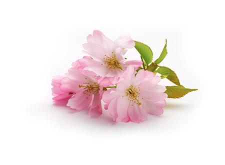 新しい桜白い背景に分離されました。 写真素材
