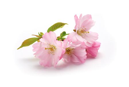 Nieuwe Cherry Blossom geïsoleerd op een witte achtergrond.