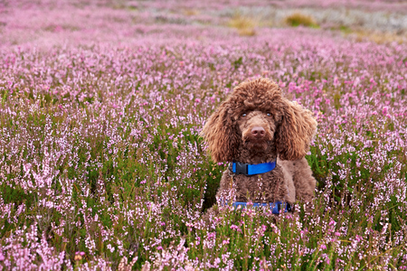 minature: A brown Poodle amongst purple flowering heather on Northumberland Moors. Stock Photo