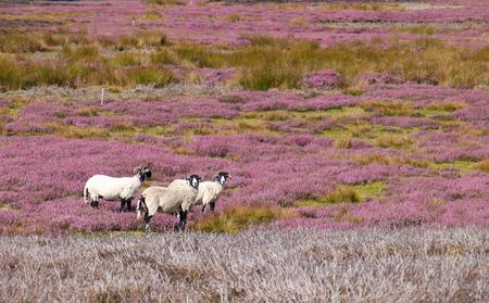 moors: Three sheep amongst the heather moors, Blanchland, English Countryside. Northumberland, England, UK.