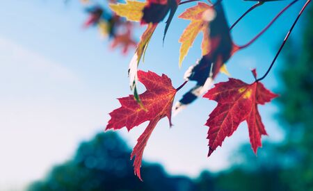 sycamore leaf: Red leaves on a Sycamore tree in the English Countryside. UK.