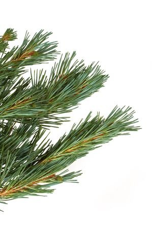 branche sapin noel: Isolated Christmas Tree branch isolated on a white background.