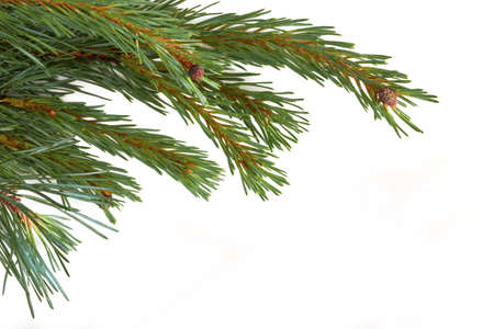 christmas tree branch: Isolated Christmas Tree branch isolated on a white background.