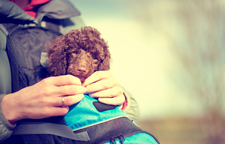 miniature poodle: A  Miniature Poodle Puppy in a carry holder. The image has intentional added grain and styling.