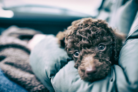 A sleepy Miniature Poodle Puppy. The image has intentional added grain and styling.