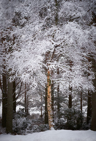 scots pine: Snow covered tress at the Glenmore Forest Park, Cairngorms in the Scottish Highlands, UK.