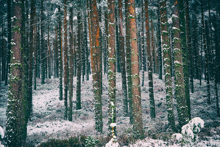 tress: Snow covered tress at the Glenmore Forest Park, Cairngorms in the Scottish Highlands, UK.