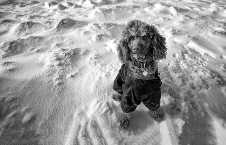 miniature poodle: A miniature poodle in a jacket sat down on the snow with frost building up on their wool in the cold air. Added grain and colour styling.