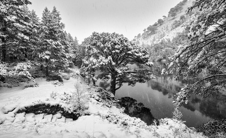 pinus sylvestris: A cold snowy Loch Uaine, Glenmore Forest, Cairngorms in the Scottish Highlands, UK. Added grain and colour styling.
