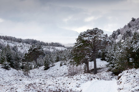 pinus sylvestris: Snow covered Glenmore Forest Park, Cairngorms in the Scottish Highlands, UK.