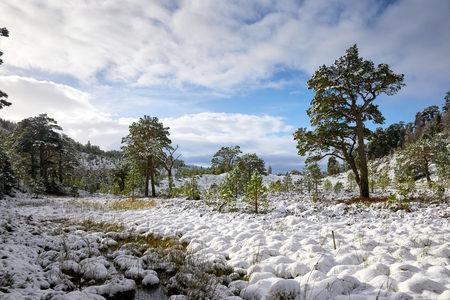 pinus sylvestris: Glenmore Forest Park, Cairngorms in the Scottish Highlands, UK.
