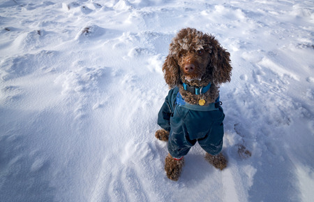 miniature poodle: A miniature poodle in a jacket sat down on the snow with frost building up on their wool in the cold air.