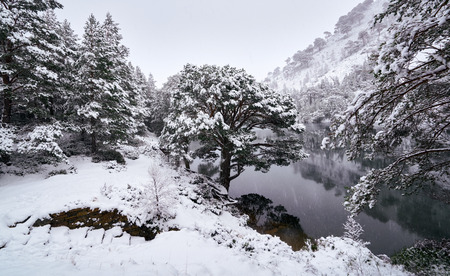 scots pine: A cold snowy Loch Uaine, Glenmore Forest, Cairngorms in the Scottish Highlands, UK.