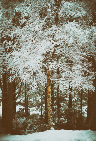 pinus sylvestris: Snow covered tress at the Glenmore Forest Park, Cairngorms in the Scottish Highlands, UK. Added grain and colour styling.