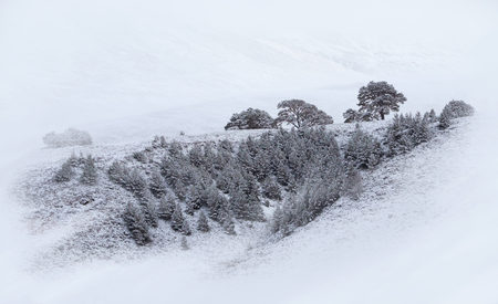 scots pine: Snow covered Scots Pine trees at Glenmore Forest Park, Cairngorms in the Scottish Highlands, UK. Stock Photo