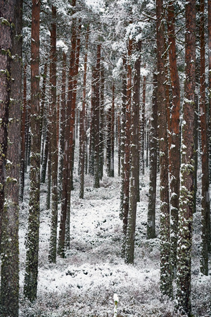 pinus sylvestris: Snow covered tress at the Glenmore Forest Park, Cairngorms in the Scottish Highlands, UK.