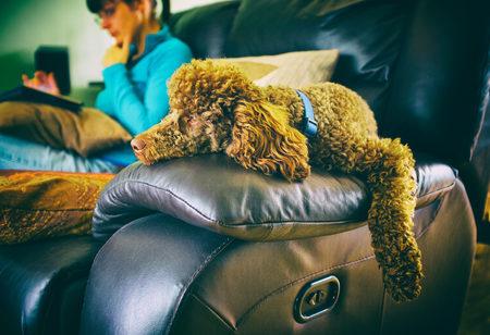 miniature poodle: A miniature poodle lazing around on the arm of a sofa. Stock Photo