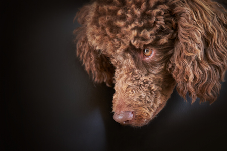 miniature poodle: Dog Portrait of a Miniature Poodle lying over the edge of a sofa.