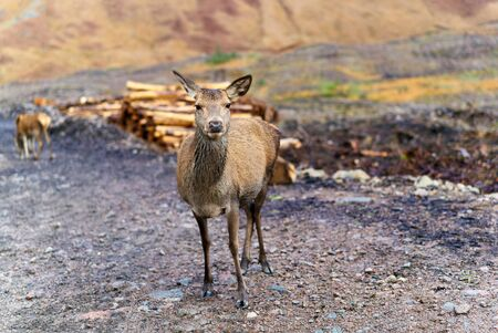 glen: Red deer Hind.  Glen Etive, Scottish Highlands.