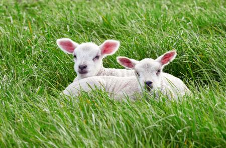 Schapen met hun jonge lammeren in een groen gebied in de lente op het Engelse platteland. Vee, boeren in de heuvels. Stockfoto - 84171377