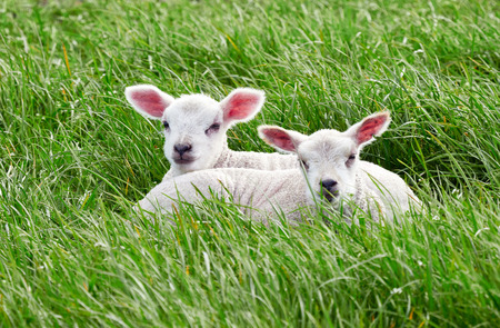 Sheep with their young lambs in a green field in springtime in the English countryside. Livestock, hill farming. 免版税图像 - 84171377
