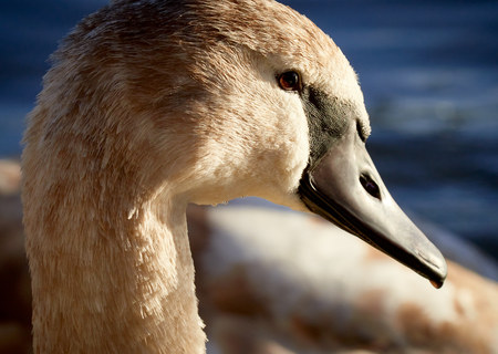 A close up of a Mute Swan cygnet in the evening sunlight, England, UK. Stock Photo