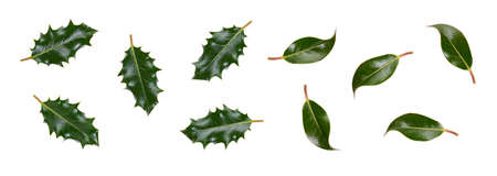 A collection of smooth and spiky green holly leaves for Christmas decoration isolated against a white background. Stockfoto