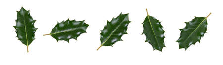 A collction of large sized green spiky holly leaves for Christmas decoration isolated against a white background.