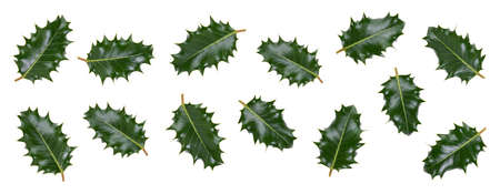 A collction of medium sized green spiky holly leaves for Christmas decoration isolated against a white background.