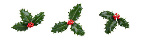 A holly sprig collection, three leaves, of green holly and red berries for Christmas decoration isolated against a white background. Stockfoto