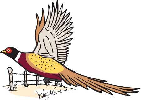 An illustrated Pheasant in flight  and high resolution jpeg files available  Illustration