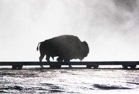 yellow stone: Silueta del bisonte en el humo, el parque nacional de Yellow Stone, Estados Unidos