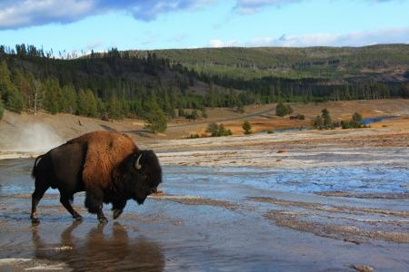 yellow stone: Bisonte caminando en los parques nacionales, Piedra Amarilla, Estados Unidos