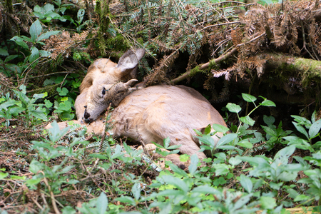 Dead red deer in the forest