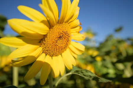 Big sunflower easily released in front of blue sky 스톡 콘텐츠