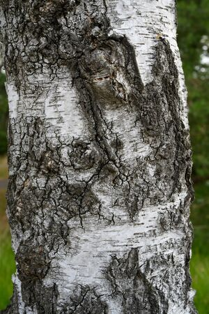 Rough bark of a birch tree outside