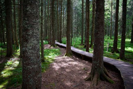 A picture from the magic forest in the German Black Forest