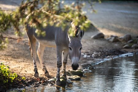 A donkey drinks water on a calm stream.