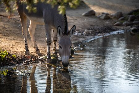 A gray donkey stands by a stream and drinks some water