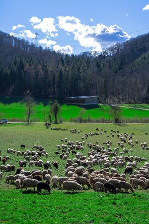 Sheep and donkey in a Swiss meadow