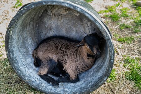 Young goat makes himself comfortable for a break. Фото со стока