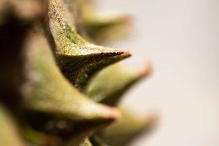 close up durian spike texture
