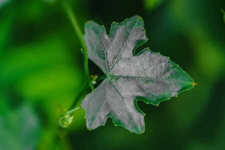 The close up of the leaves Ivy Gourd is a vegetable with a green and soft focus background. Banque d'images