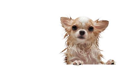 Pequeño perro chihuahua marrón lindo a la espera de propietario en la bañera después de tomar un baño en la bañera.