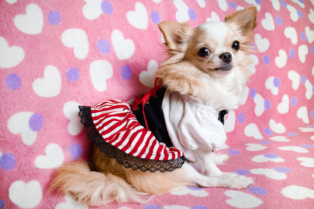 Small cute brown chihuahua dog wearing dress sitting on pink background.