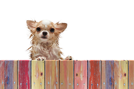 Wet dirty chihuahua dog look through a rustic wooden fence on white background