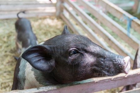 potbellied: Black Pot-bellied pig at the zoo