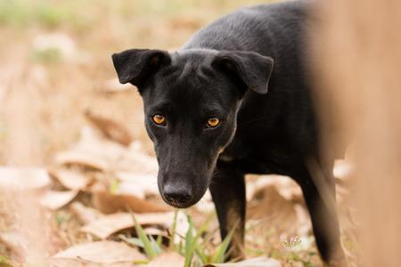 Perro negro que mira Foto de archivo